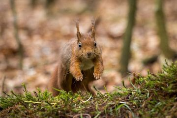Springende eekhoorn van Goffe Jensma