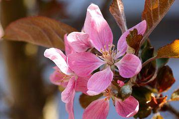 Kleurrijke roze appelbloesem in het voorrjaar. van Ans van Heck