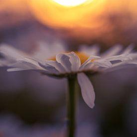 Wilde Gänseblümchen in der Abendsonne von Peter Heins