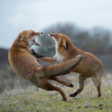 Fuchs im Streit... Rotfüchse *Vulpes vulpes* von wunderbare Erde