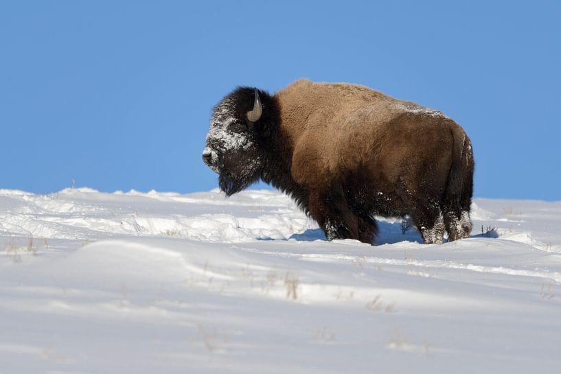 Amerikanischer Bison ( Bison bison ), kräftiger Bulle im Winter bei Traumwetter, Yellowstone NP,  US von wunderbare Erde