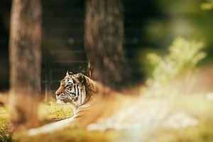 De  tijger in Nederland
