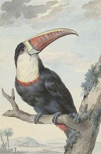 Tukan - Aert Schouman, 1748