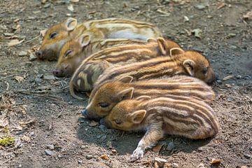 Jonge wilde zwijnen liggen als groep op een rij in natuur van