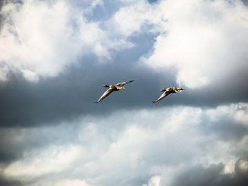 Vliegende Ganzen van Martijn Tilroe
