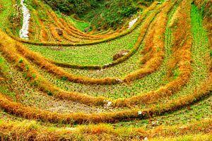 Rijstterrassen in herfstkleur, Longji, China