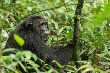 Chimpansee von Albert van Heugten