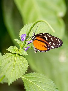 Vlinder (oranje) van