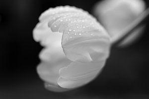 Verregende tulp van