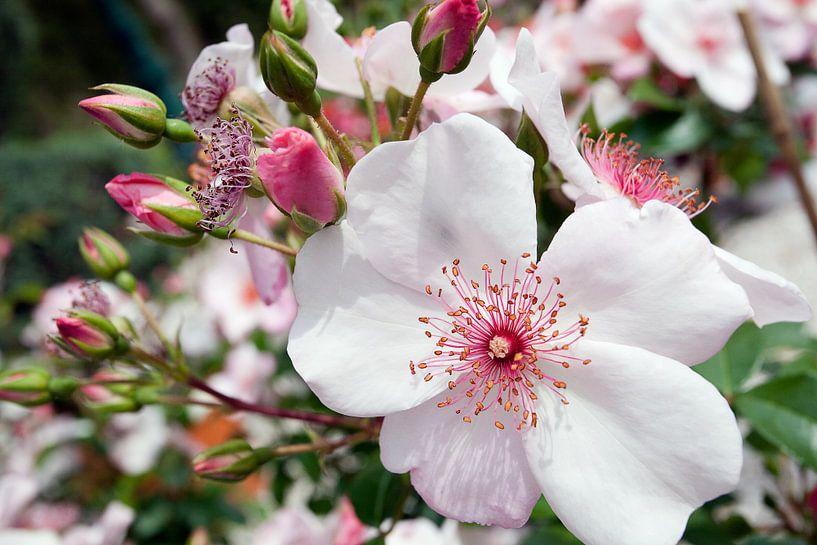 Bloeiende rozen  van Arie Storm