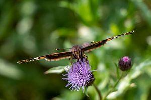 Etende vlinder. van