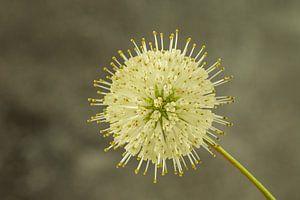 Ballflower/ Cephalanthus occidentalis sur Tanja van Beuningen