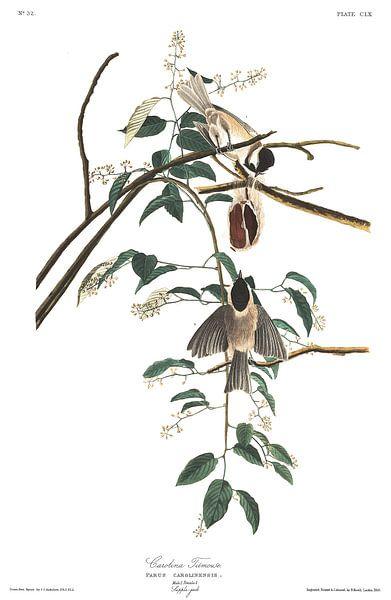 Carolinamees van Birds of America
