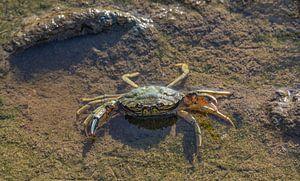 Crabe de plage prêt au combat