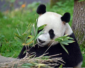Panda von Koolspix