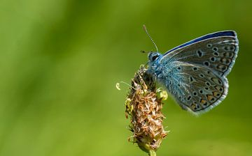 Icarusblauwtje op smalle weegbree sur Bas Mandos