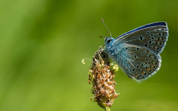 Icarusblauwtje op smalle weegbree van Bas Mandos