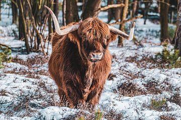 Schotse Hooglander in de sneeuw van Julius Pot