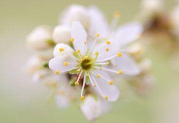 Blüte von Milou Hinssen