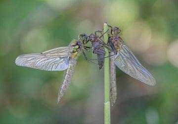Smaragdlibel en Viervlek aan het uitharden in het bos van Marcel Klootwijk