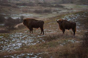 Wisents in Dünen auf der Kraansvlak von Süd-Kennemerland von Jeroen Stel