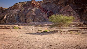 een boom in de woestijn van israël von Compuinfoto .