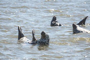 Zeehonden in de Waddenzee bij Oudeschild
