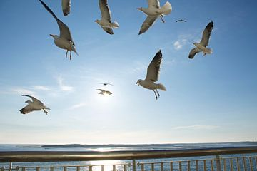 Zeemeeuwen vliegen mee met de boot van Berthilde van der Leij
