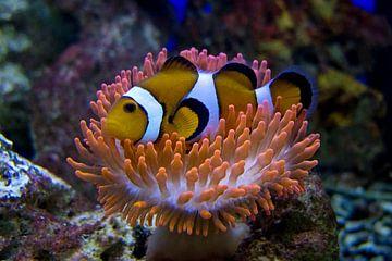 Nemo sur Guido Akster