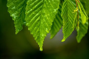 Waterdrops on a leaf van