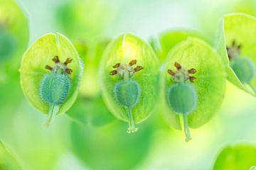 Nahaufnahme der Wolfsmilch ( Euphorbia). Diptychon. von Birgitte Bergman