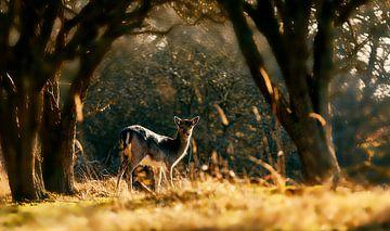 Cerf dans une forêt au soleil levant sur Björn van den Berg