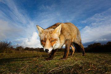Curious fox  sur