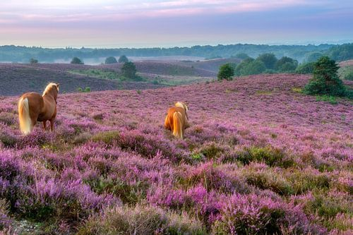 Paarden op de paarse heide bij de Posbank