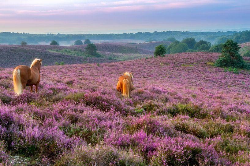 Paarden op de paarse heide bij de Posbank van Dennisart Fotografie