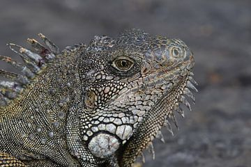 Groene leguaan (Iguana iguana) van