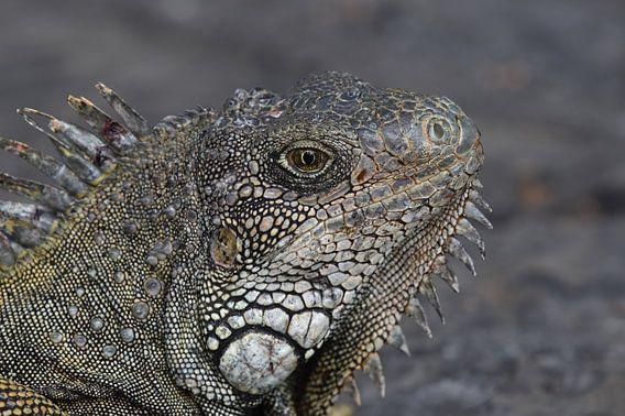 Groene leguaan (Iguana iguana) van Frank Heinen