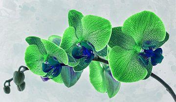 Grüne Orchidee von Rietje Bulthuis