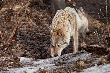 Wolfsweibchen schnüffelt Spuren der Jagd im Frühlingswald Grauer Wolf im Wald im zeitigen Frühjahr.  von Michael Semenov