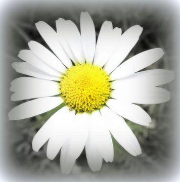 Gänseblümchen van Annabella Rharbaoui