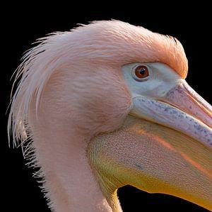 Close-up pelikaan