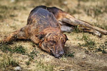 Straathond ligt op verdorde weide van Besa Art