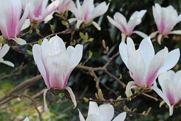 Blühende Magnolie am Ende. von Geert Visser