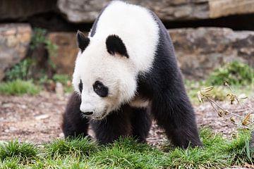 Een Reuzenpanda op zoek naar voedsel sur Henk van den Brink