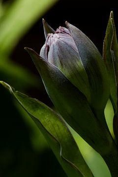 Blüte in der Knospe von Nancy Bogaert