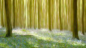 Wilde hyacinten in Hallerbos van
