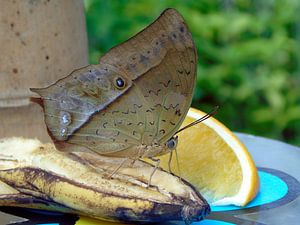 Butterfly and fruits - (Collectie 2018 ) van