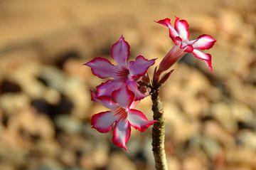 Wilde impalalelie, een opvallende mooie roze bloem von Vera Boels