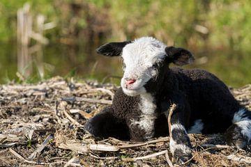Pasgeboren Lammetje op het Stro van Charlene van Koesveld