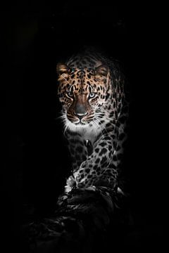 Groot volgelaat. luipaard geïsoleerd op een zwarte achtergrond. Wilde mooie grote kat in de nachteli van Michael Semenov